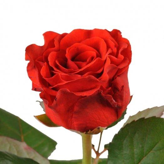 Летний ценопад: роза Эль Торо от 8 грн.