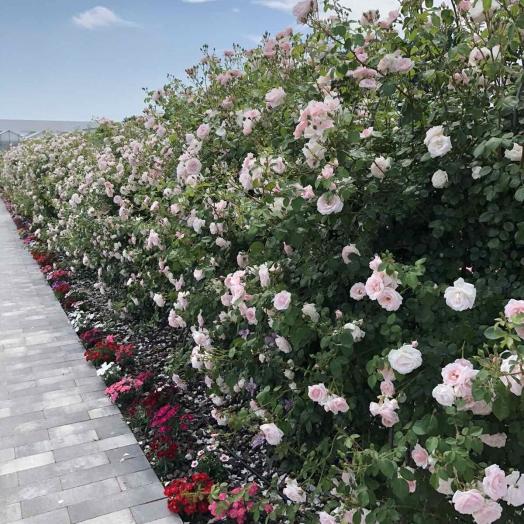 Сезон цветения роз в парке Камелия