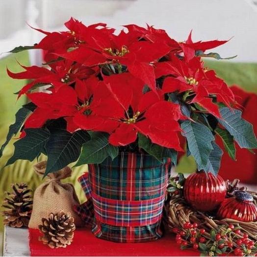 Удивительная Пуансеттия – символ Рождества