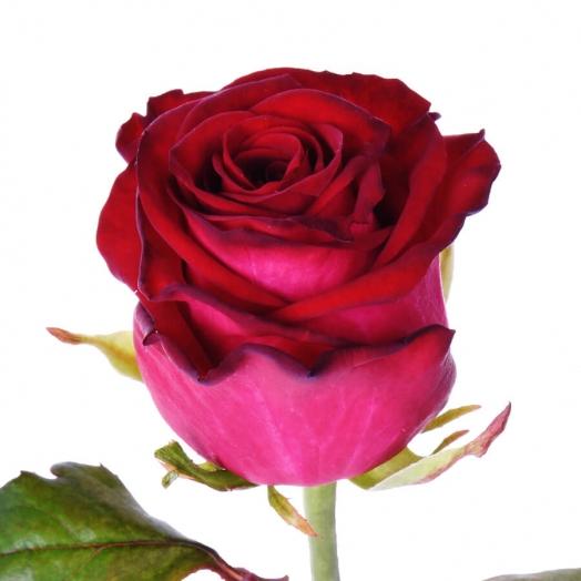 Акция на розы Ирина, Чири и Эль Торо